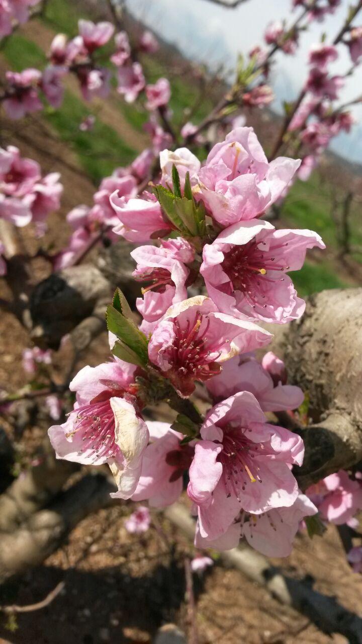 alberi da frutto in fiore azienda agricola corte fontana